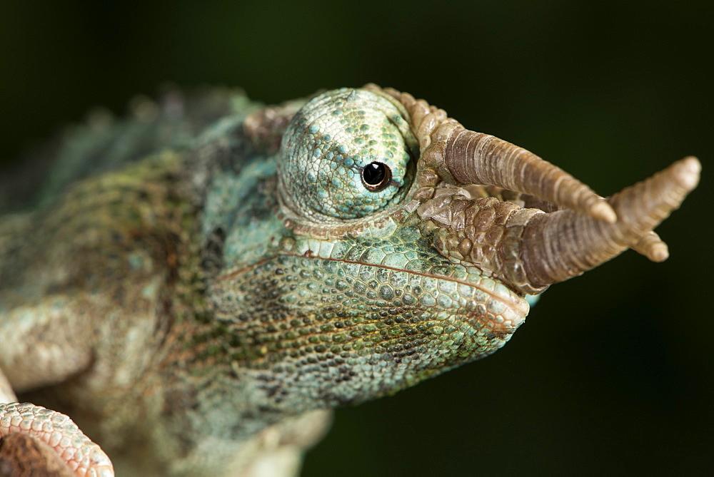 Jacksons Chameleon (Rhinoceros Chameleon) (Trioceros jacksonii), captive, Madagascar, Africa
