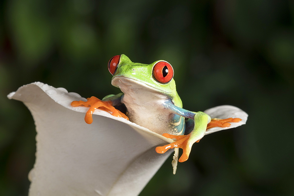 Red Eyed Tree Frog (Agalychnis Callidryas), captive, Colombia, South America