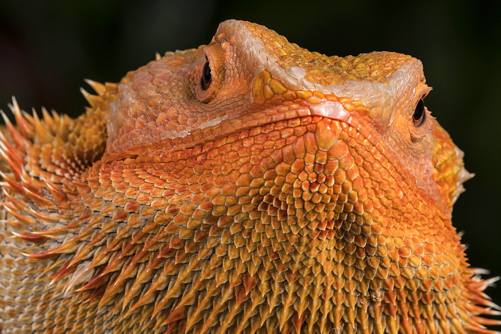 Bearded Dragon (Pogona Vitticeps), captive, Australia, Pacific