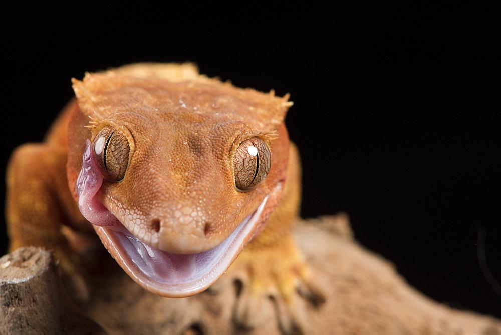 Crested Gecko (Correlophus Ciliates), captive, New Caledonia, Pacific