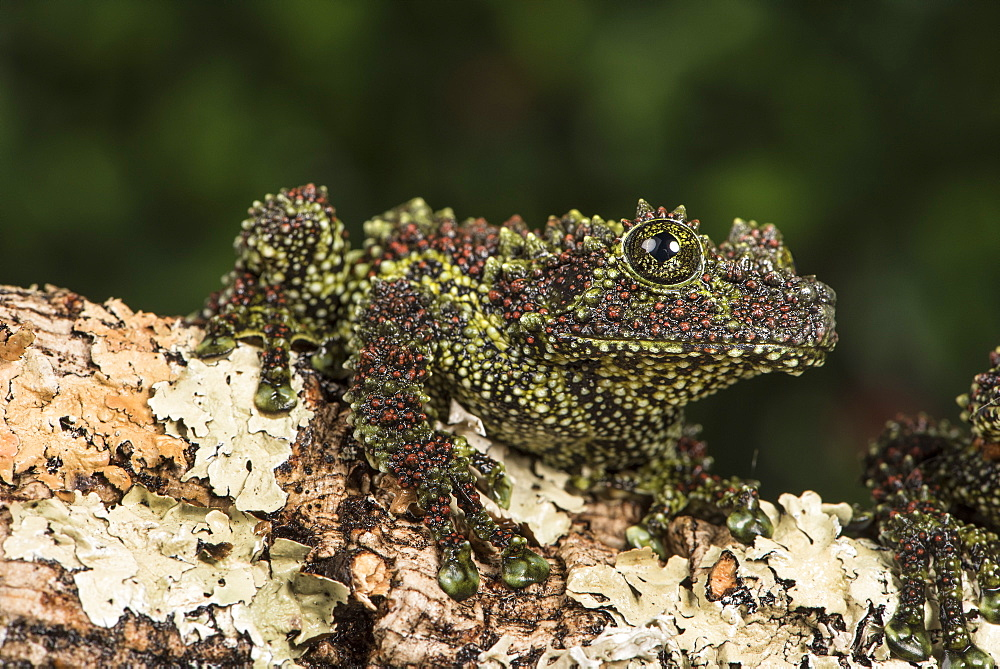 Vietnamese Mossy Frog (Theloderma Corticale), captive, Vietnam, Indochina, Southeast Asia, Asia - 1185-274