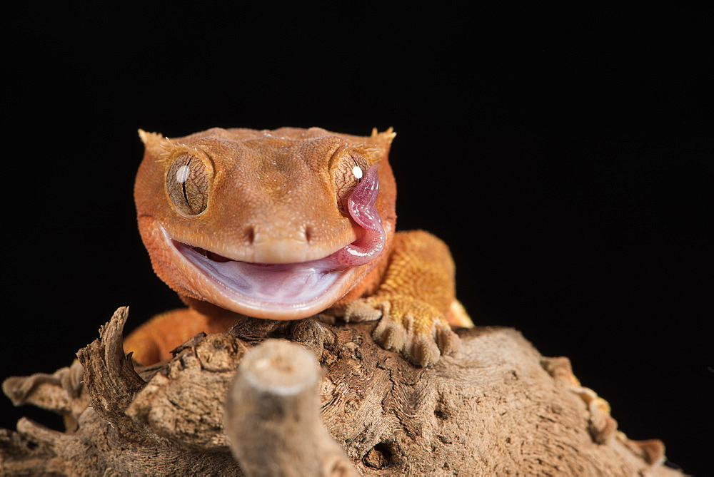 Crested Gecko (Correlophus Ciliates) in captivity, New Caledonia, Pacific