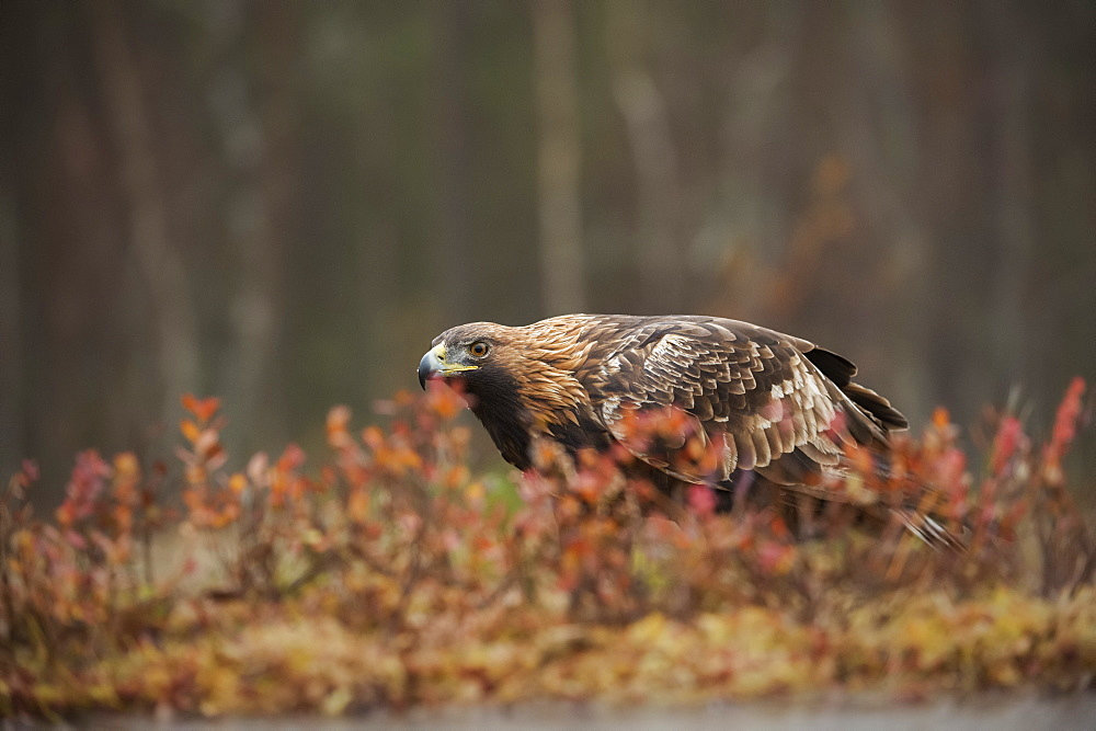 Golden eagle (Aquila chrysaetos), Sweden, Scandinavia, Europe