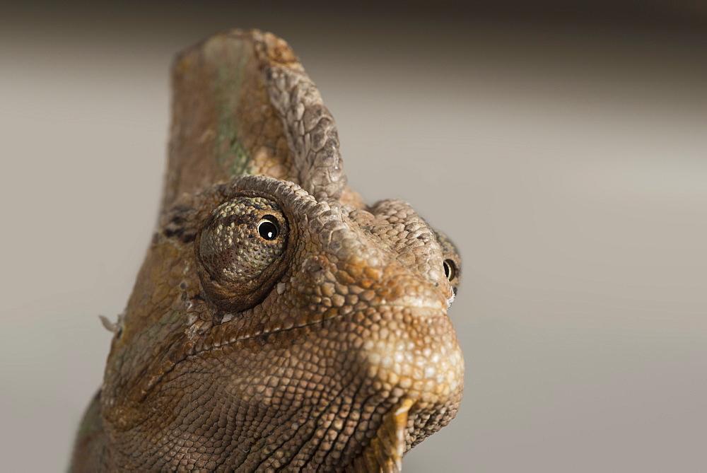 Veiled chameleon (Yemen chameleon) (Chamaeleo Calyptratus), captive, United Kingdom, Europe - 1185-307
