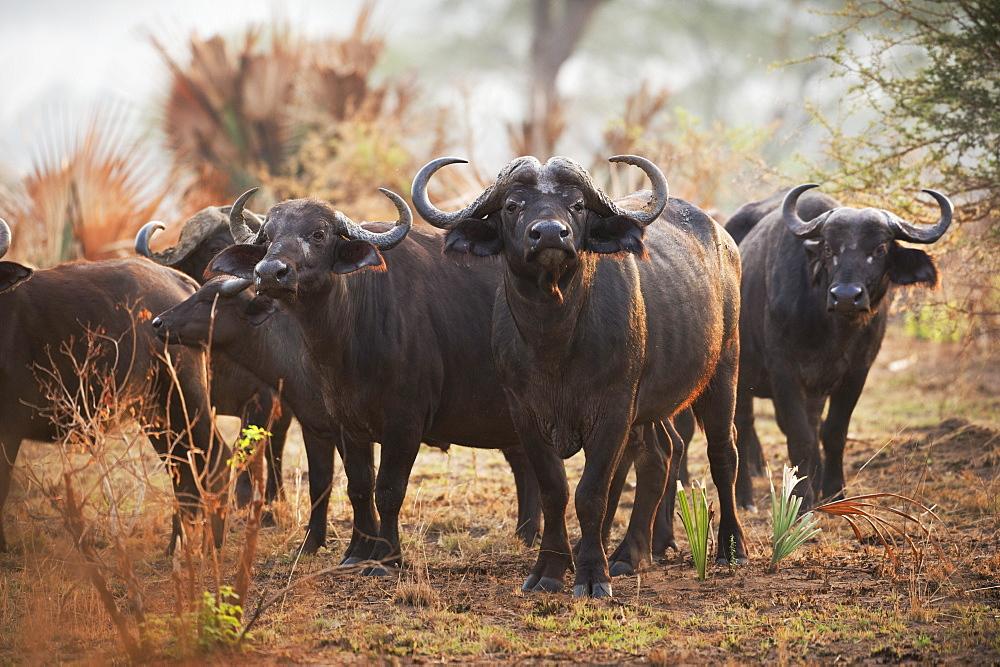 African Buffalo, Syncerus caffer