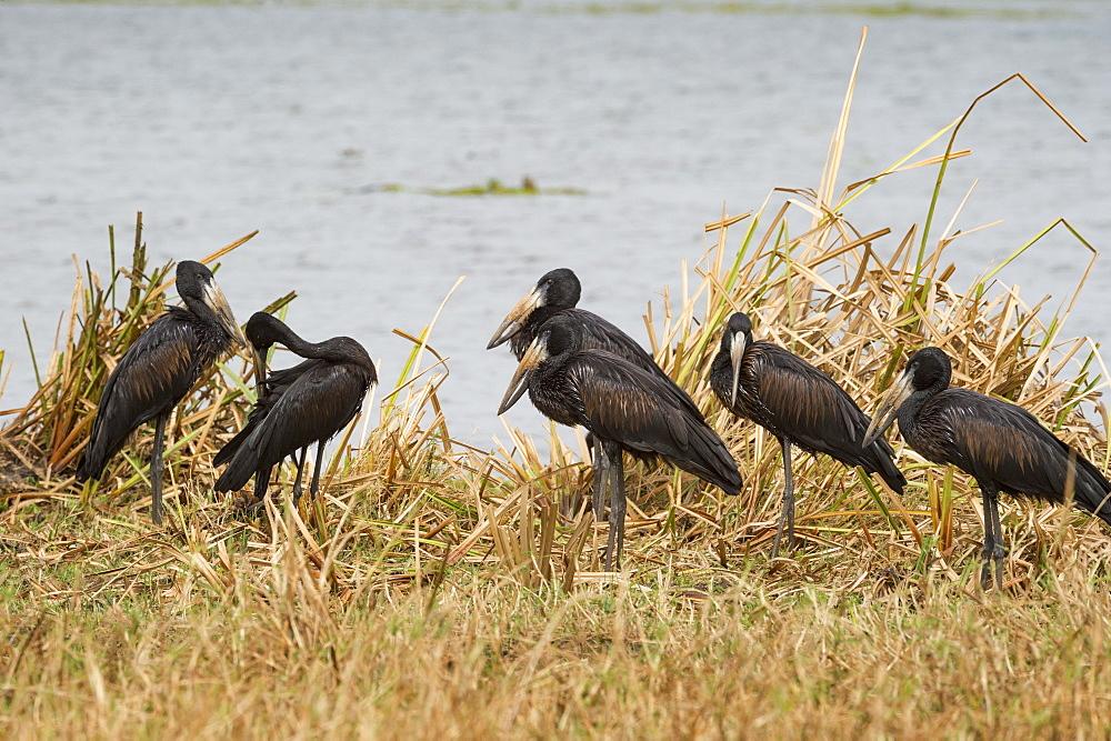 African Open-billed Stork (African openbill) (Openbill stork) (Aanastomus lamelligerus), Uganda, Africa