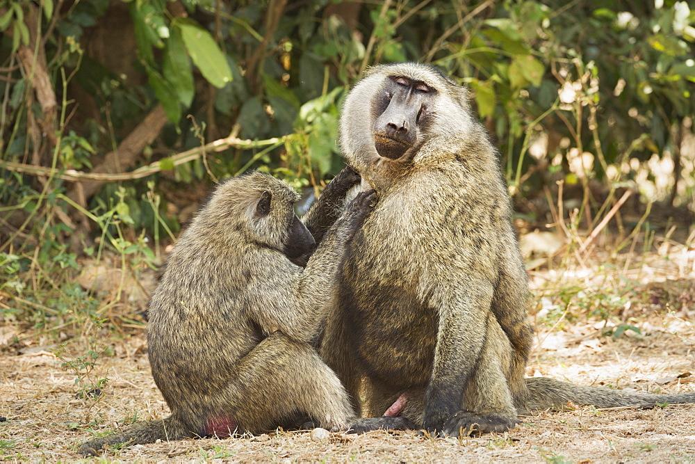 Olive Baboon (Anubis baboon), Uganda, Africa