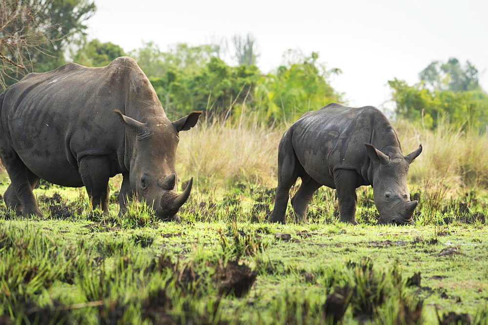 White Rhinoceros (Ceratotherium simum), Uganda, Africa - 1185-330