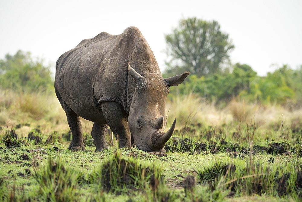 White Rhinoceros (Ceratotherium simum), Uganda, Africa - 1185-331