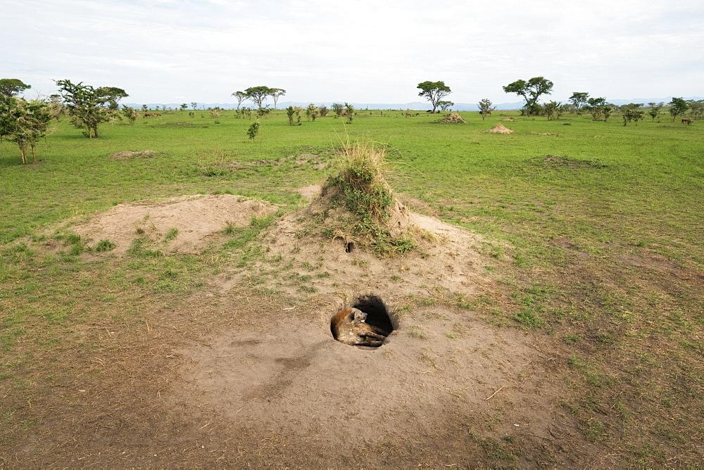 Spotted Hyena (Crocuta crocuta), Ishasha, Uganda, Africa
