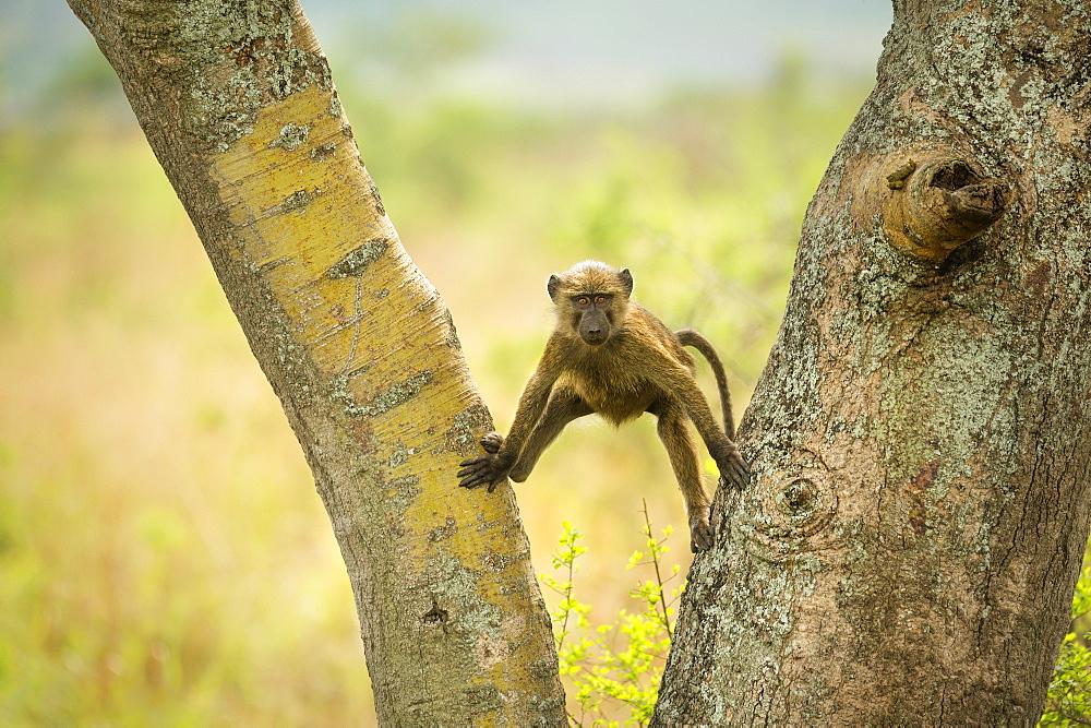 Olive Baboon (Anubis baboon), Ishasha, Uganda, Africa - 1185-335