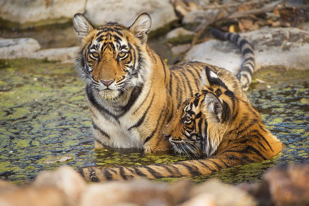 Bengal tiger (Panthera tigris tigris), Ranthambhore, Rajasthan, India, Asia - 1185-348