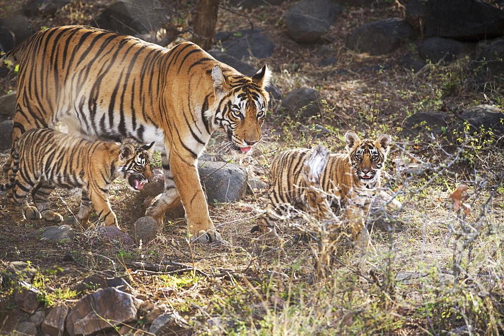 Bengal tiger (Panthera tigris tigris), Ranthambhore, Rajasthan, India, Asia - 1185-350