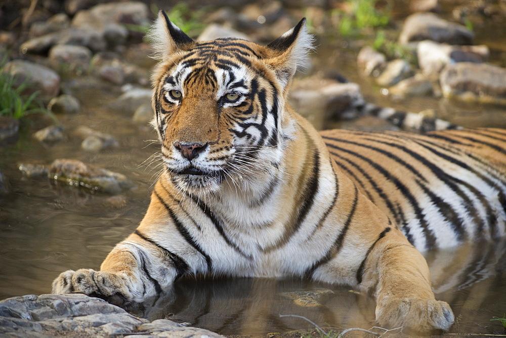 Bengal tiger (Panthera tigris tigris), Ranthambhore, Rajasthan, India, Asia - 1185-351