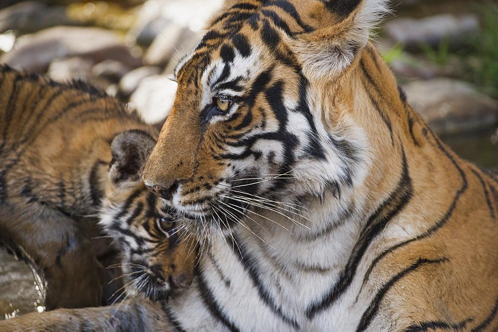Bengal tiger (Panthera tigris tigris), Ranthambhore, Rajasthan, India, Asia - 1185-352