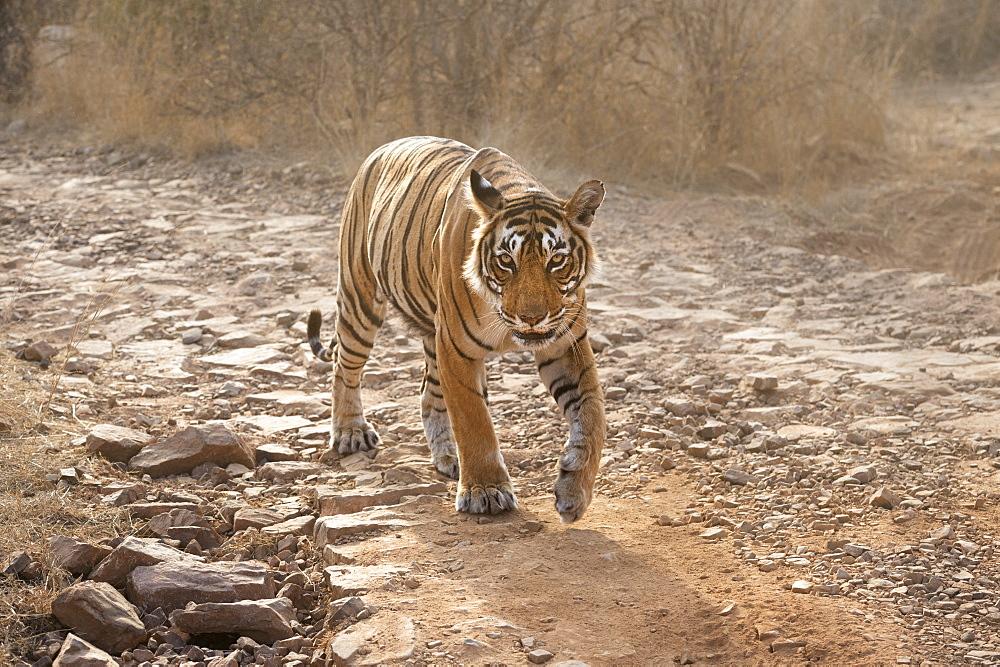 Bengal tiger (Panthera tigris tigris), Ranthambhore, Rajasthan, India, Asia - 1185-353