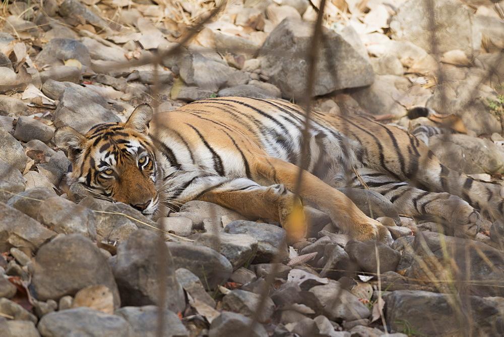 Bengal tiger (Panthera tigris tigris), Ranthambhore, Rajasthan, India, Asia - 1185-355