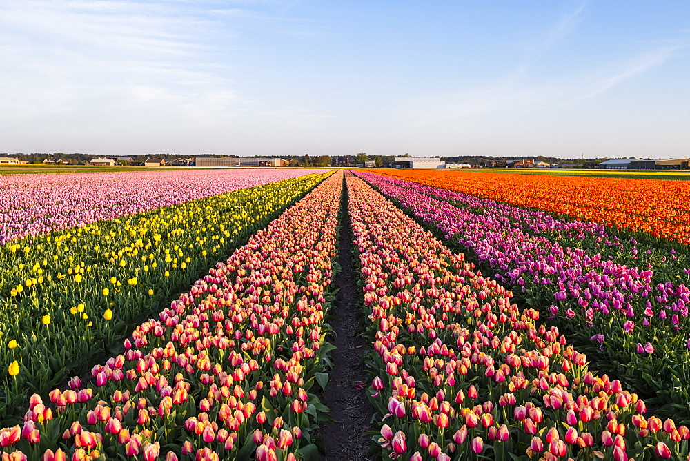 Tulip fields around Lisse