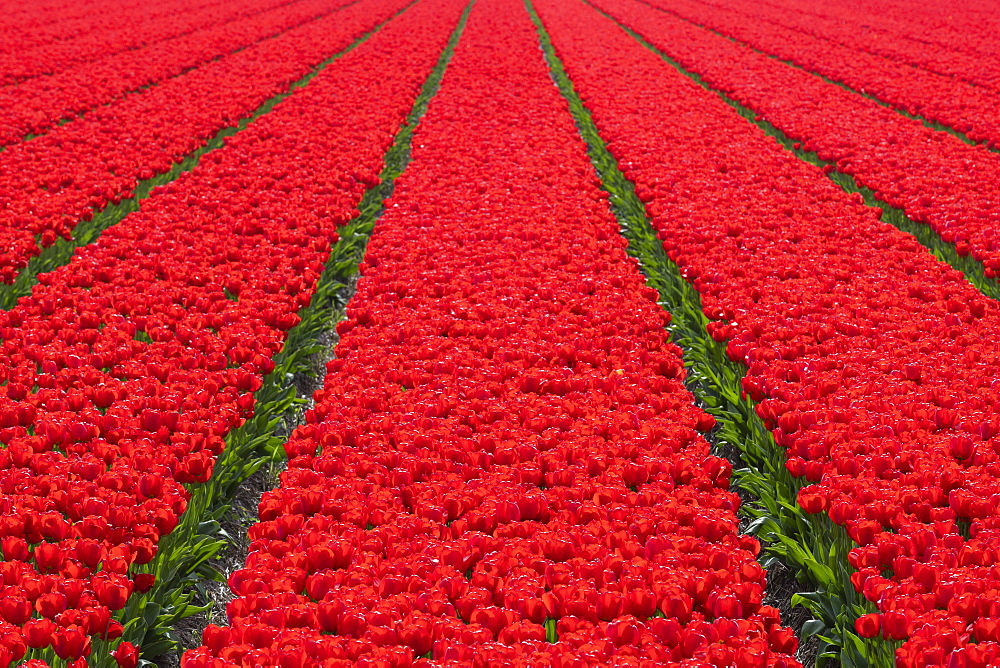 Tulips fields in Lisse