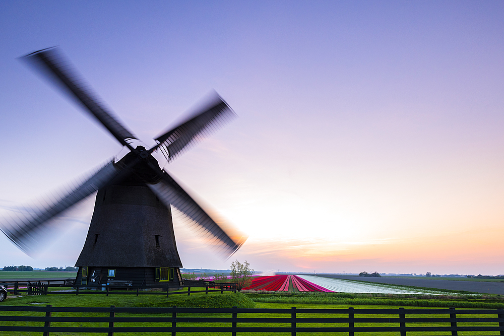 Windmill and Tulip fields at sunset, Alkmaar, North Holland, The Netherlands, Europe