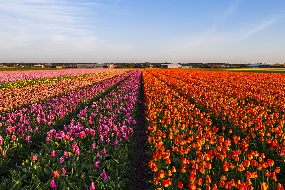 Tulip fields around Lisse, South Holland, The Netherlands, Europe