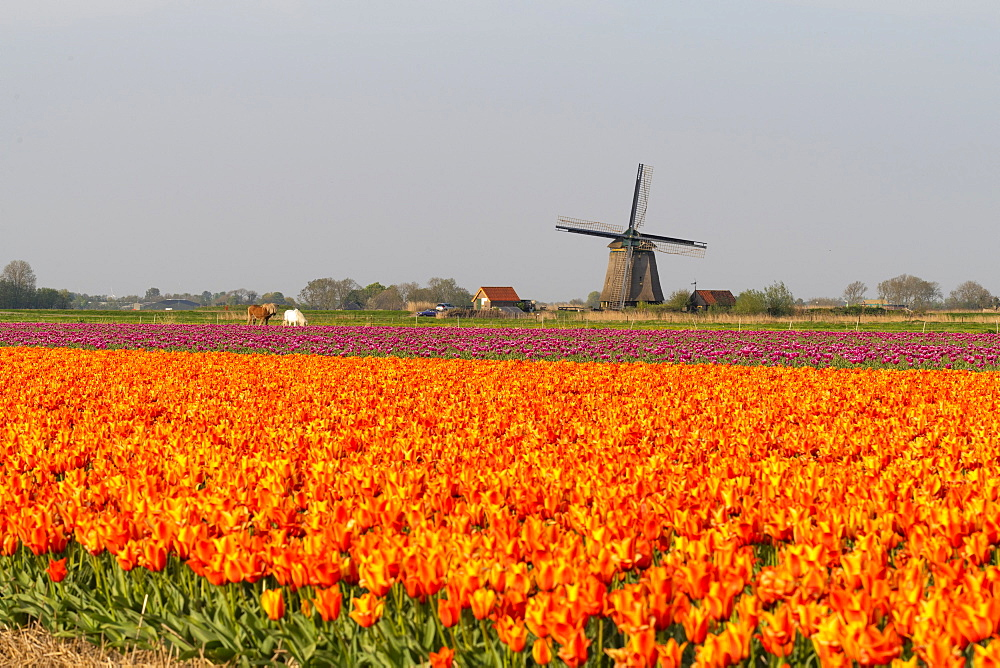 Tulip fields and Windmills, Lisse, South Holland, The Netherlands, Europe