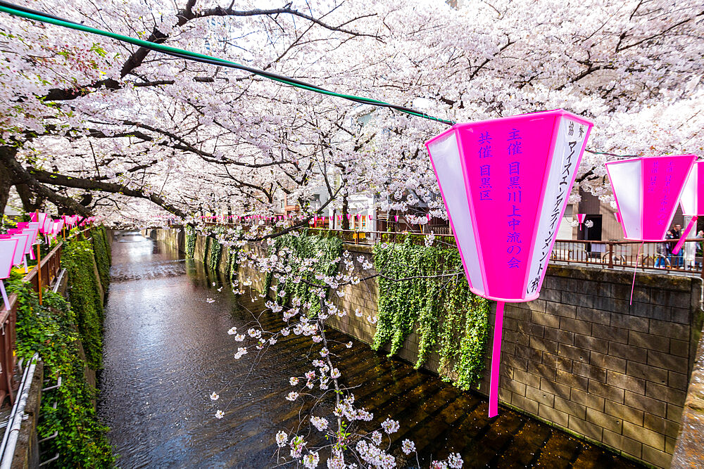 Meguro River during cherry blossom - 1186-784
