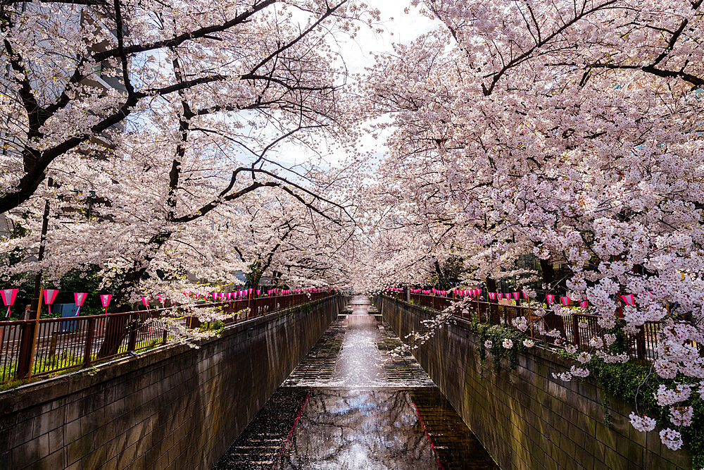 Meguro River during cherry blossom - 1186-785
