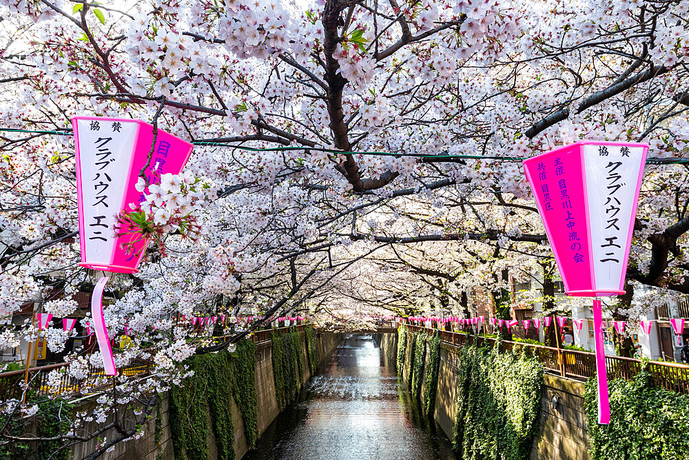 Meguro River during cherry blossom - 1186-795