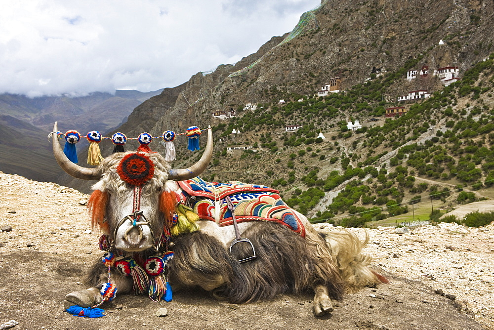 Yak in Drak Yerpa, Tibet, China, Asia - 1196-282