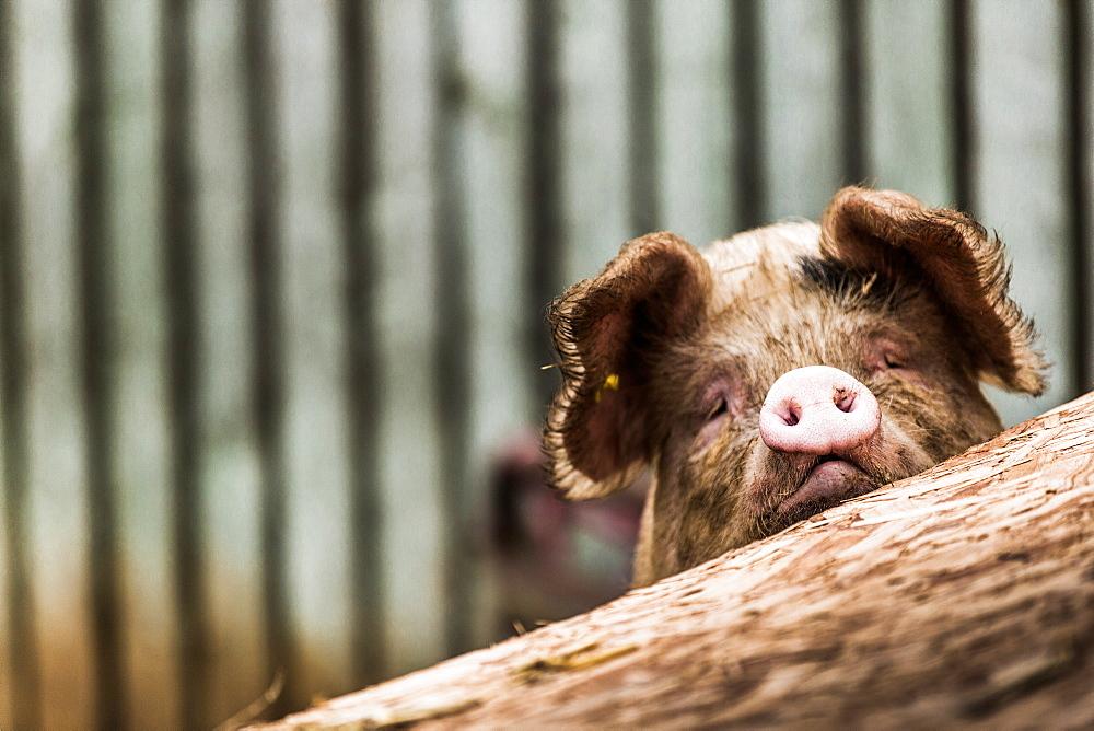 Pig in Gloucesteshire, England, United Kingdom, Europe - 1199-263