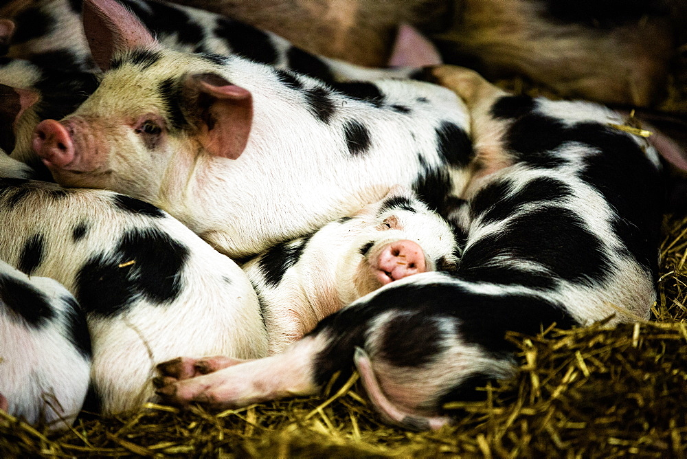 Piglets in Gloucestershire, England, United Kingdom, Europe - 1199-264