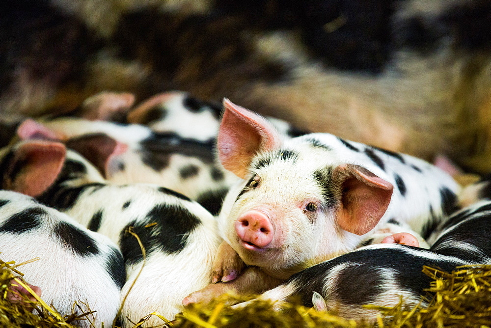 Piglets in Gloucestershire, England, United Kingdom, Europe - 1199-265
