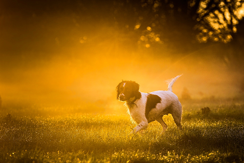 Springer spaniel, Oxfordshire, England, United Kingdom, Europe