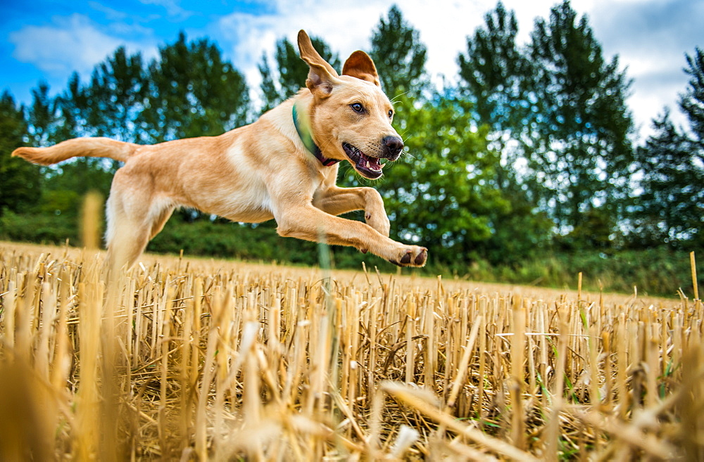 Labrador in field, Oxfordshire, England, United Kingdom, Europe