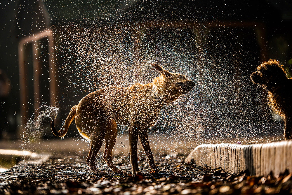 Golden labrador shaking off water in Battersea Park, London, England, United Kingdom, Europe - 1199-372