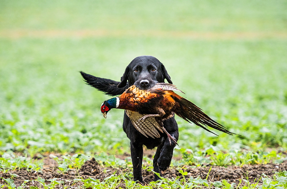 Black labrador gun dog retrieving cock pheasant on a shoot in Wiltshire, England, United Kingdom, Europe