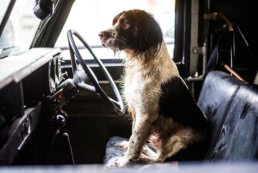 Springer spaniel, gun dog, Land Rover, England, United Kingdom, Europe - 1199-381