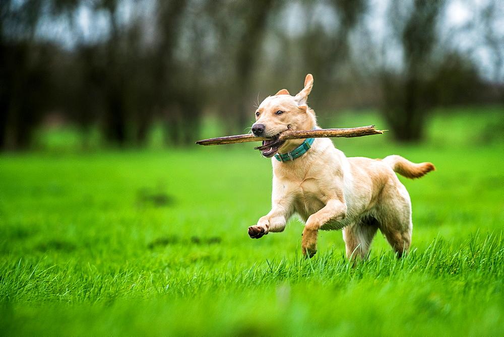 Labrador carrying stick, United Kingdom, Europe - 1199-386