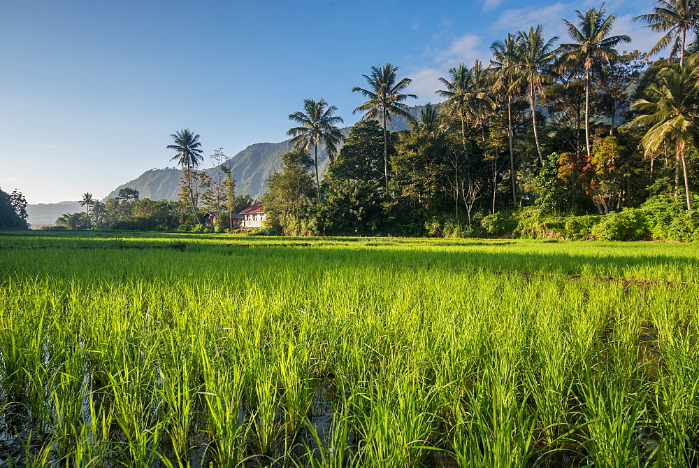 Padi Field in Lake Toba, Sumatra, Indonesia, Southeast Asia - 1199-405
