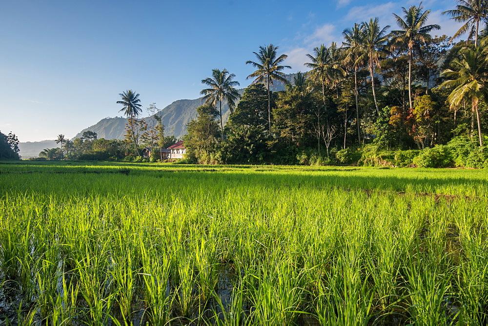 Padi Field in Lake Toba, Sumatra, Indonesia, Southeast Asia - 1199-405