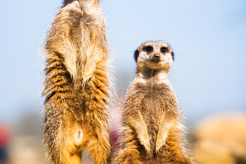 The meerkat (suricate) (Suricata suricatta), United Kingdom, Europe - 1199-433