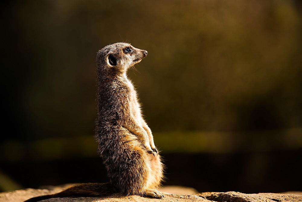 Meerkat (suricate) (Suricata suricatta), United Kingdom, Europe - 1199-435