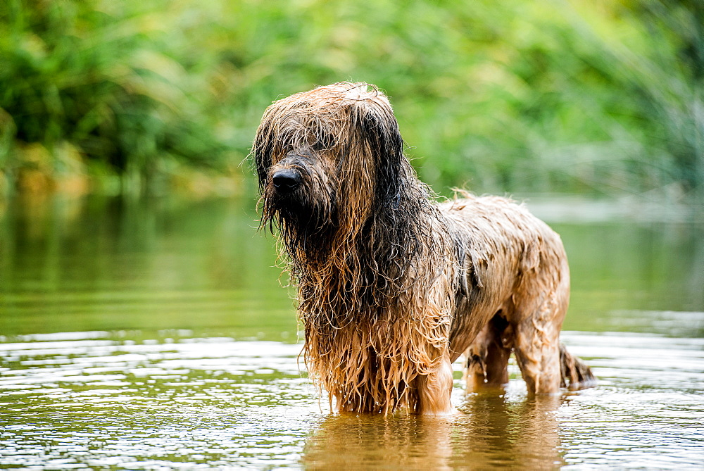 A briard dog, wading in water, England, United Kingdom, Europe - 1199-444