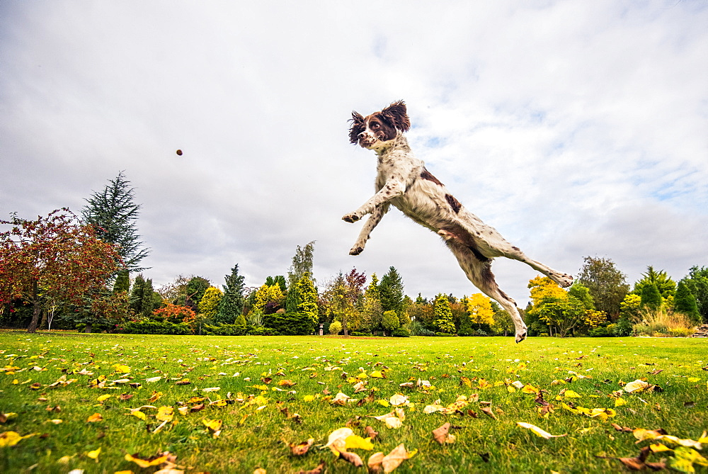 Springer Spaniel jumping to catch treat, United Kingdom, Europe