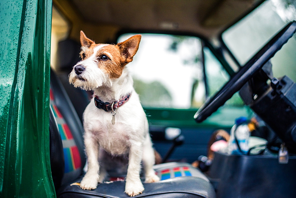 Dog in car, game-shooting, Norfolk, England, United Kingdom, Europe