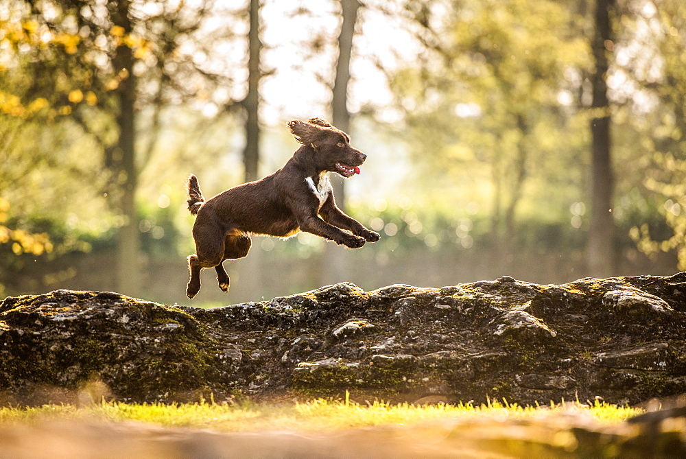 Jumping cocker spaniel, Oxfordshire, England, United Kingdom, Europe - 1199-463