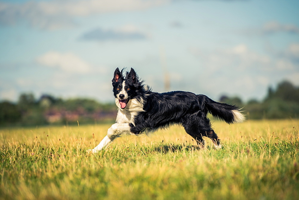 Running border collie in a field, Oxfordshire, England, United Kingdom, Europe - 1199-465