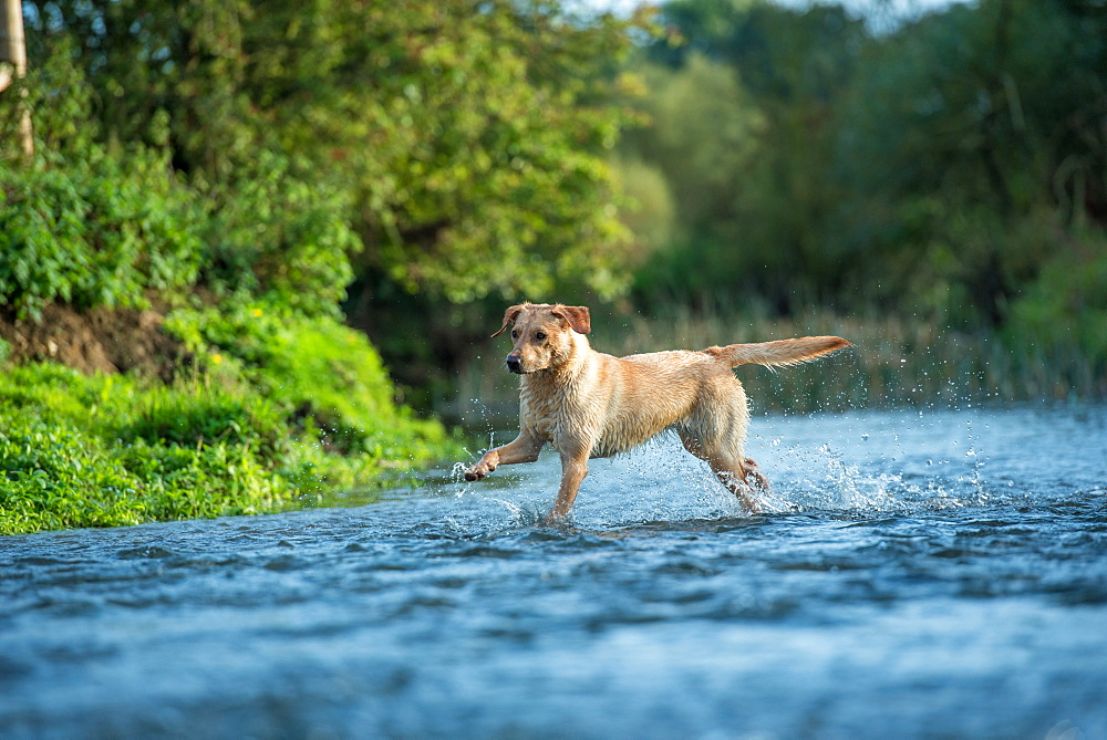 Labrador in a river, Oxfordshire, England, United Kingdom, Europe