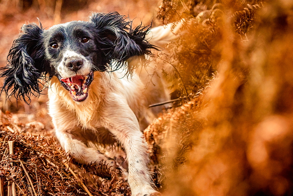 Springer spaniel running through ferns, United Kingdom, Europe - 1199-477